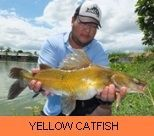 Photo Gallery - Yellow Catfish