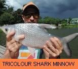 Photo Gallery - Tricolour Shark Minnow