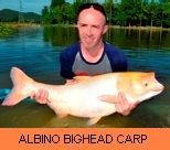 Photo Gallery - Albino Bighead Carp