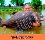 Photo Gallery - Siamese Carp