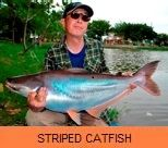 Photo Gallery - Striped Catfish
