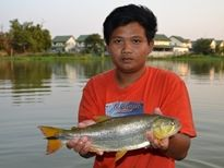 Thai Fish Species - Golden Dorado