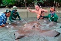 Thai Fish Species - Giant Freshwater Stingray