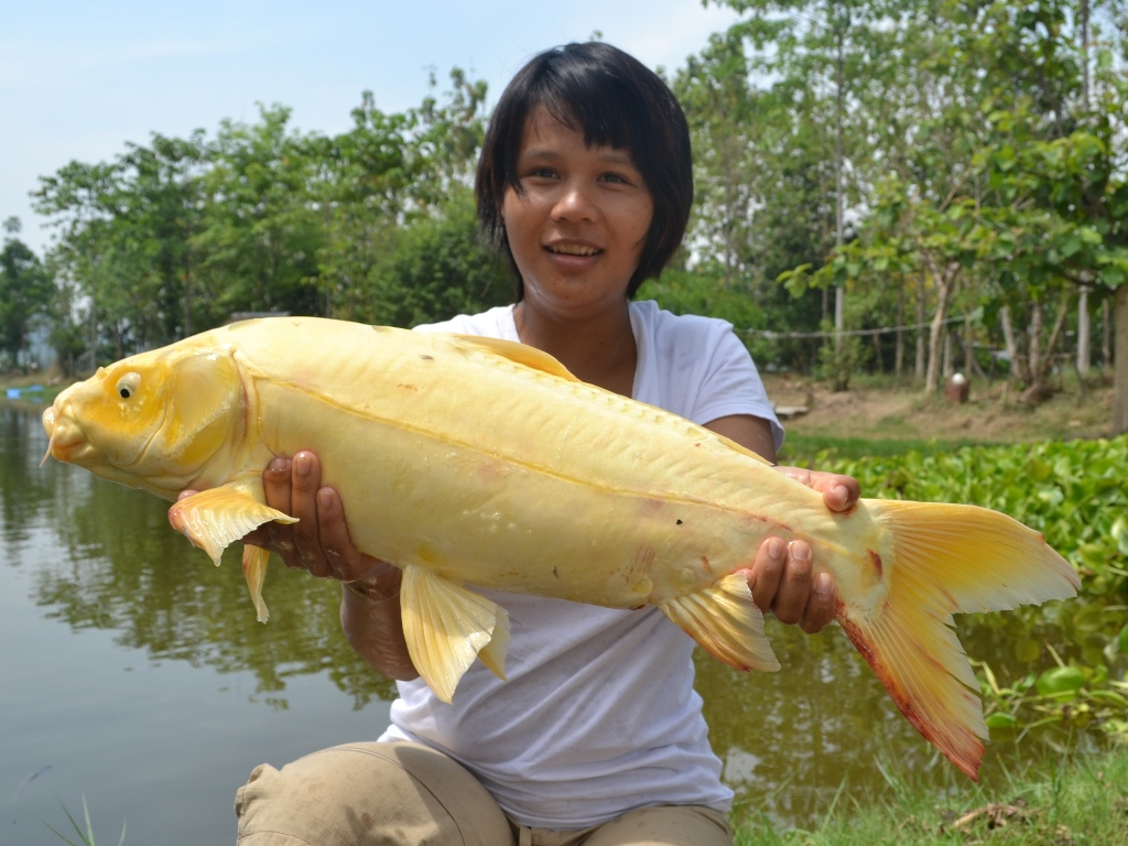 Guided fishing holidays in thailand at palm tree lagoon for Giant coy fish