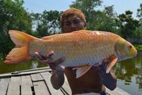 Thai Fish Species - Koi Carp