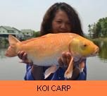 Photo Gallery - Koi Carp
