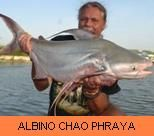 Photo Gallery - Albino Chao Phraya