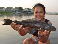 Thai Fish Species - Suckermouth Catfish