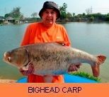 Photo Gallery - Bighead Carp