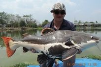 Thai Fish Species - Amazon Redtail