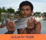 Photo Gallery - Goliath Tigerfish