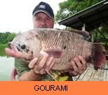 Photo Gallery - Giant Gourami