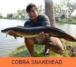 Photo Gallery - Cobra Snakehead