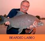 Photo Gallery - Bearded Labeo