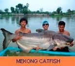 Photo Gallery - Mekong Catfish