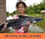 Photo Gallery - Crystal Eyed Catfish