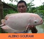 Photo Gallery - Albino Gourami