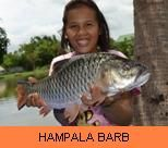 Photo Gallery - Hampala Barb