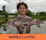 Photo Gallery - Marble Catfish