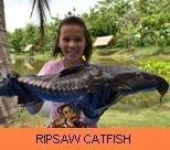 Photo Gallery - Ripsaw Catfish