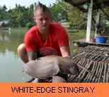 Photo Gallery - White-Edge Stingray