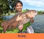 Thai Fish Species - Rohu