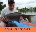 Photo Gallery - Rohu x Black Carp