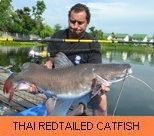 Thai Fish Species - Thai Redtailed Catfish