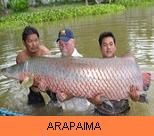 Photo Gallery - Arapaima