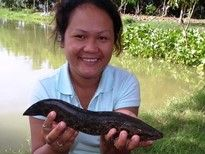 Thai Fish Species - Splendid Snakehead
