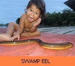 Photo Gallery - Swamp Eel