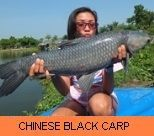 Photo Gallery - Chinese Black Carp