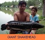 Photo Gallery - Giant Snakehead