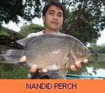Photo Gallery - Nandid Tiger Perch