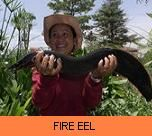 Photo Gallery - Fire Eel