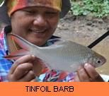 Thai Fish Species - Tinfoil Barb
