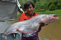 Thai Fish Species - Whisker Sheatfish