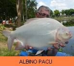 Photo Gallery - Albino Pacu