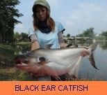 Photo Gallery - Black Ear Catfish