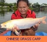 Thai Fish Species - Chinese Grass Carp
