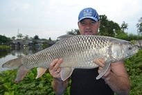 Thai Fish Species - Mrigal