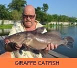 Photo Gallery - Giraffe Catfish