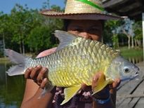 Thai Fish Species - Golden Bellied Barb