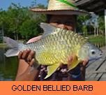 Photo Gallery - Golden Bellied Barb