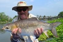 Thai Fish Species - Mad Barb