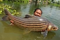 Thai Fish Species - Juliens Golden Price Carp