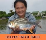 Photo Gallery - Golden Tinfoil Barb