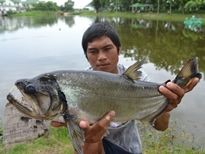 Thai Fish Species - Payara