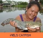Photo Gallery - Wels Catfish