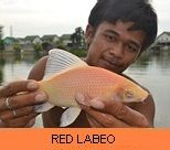 Photo Gallery - Red Labeo